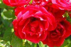 Flowering climbing rose Royalty Free Stock Photos