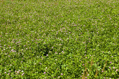 Flowering clover Royalty Free Stock Photo