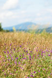 Flowering clover in a meadow Stock Photography