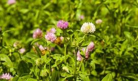 Flowering clover Stock Photos