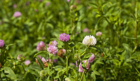 Flowering clover Royalty Free Stock Images