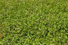 Flowering clover Stock Image