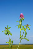 Flowering clover plant Royalty Free Stock Photos
