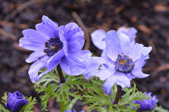 Flowering Cluster of Purple Anemone Flowers in a Garden. Garden with blooming purple anemone flower blossoms stock photo