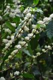 Flowering coffee tree Royalty Free Stock Photo