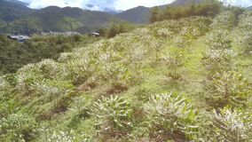 Flowering coffee trees on grass hills upper view. Pictorial panorama flowering in white coffee trees on green grass mountain hill against distant buildings stock video footage