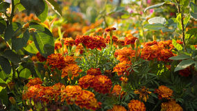 Flowering colorful garden flowers marigold Stock Photography