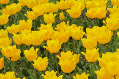 Flowering colorful tulips Stock Photos