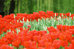 Flowering colorful tulips Stock Image