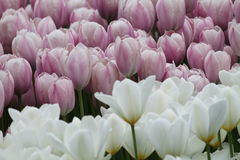 Flowering colorful tulips Royalty Free Stock Images
