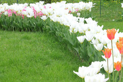 Flowering colorful tulips Stock Photo