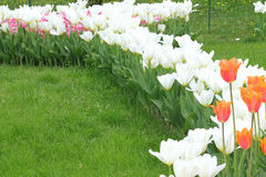 Flowering colorful tulips Stock Images