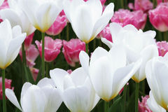 Flowering colorful tulips Royalty Free Stock Image