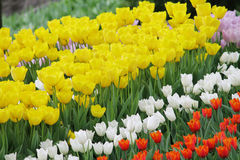 Flowering colorful tulips Royalty Free Stock Photography