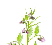 Flowering comfrey Royalty Free Stock Images