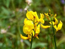 A flowering common broom or Scotch broom Stock Photos