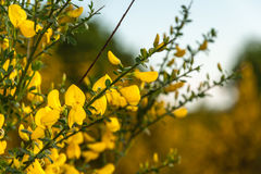 Flowering Common broom in springtime Stock Images