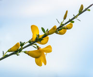 Flowering Common broom twig in springtime Royalty Free Stock Photography