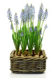 Flowering common grape hyacinths Stock Image
