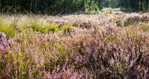 Flowering Common heather in early morning sunlight from the back Royalty Free Stock Images