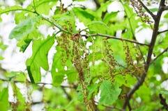 Flowering common oak or pedunculate oak Quercus robur. In spring Royalty Free Stock Image