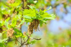 Flowering common oak or pedunculate oak Quercus robur. In spring Stock Photo