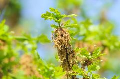 Flowering common oak or pedunculate oak Quercus robur. In spring Royalty Free Stock Photo