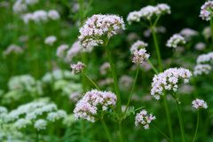 Flowering common Valerian Royalty Free Stock Photography