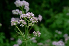 Flowering common Valerian Stock Image