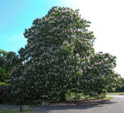 Flowering Conker. A magnificent Horse Chestnut tree in full spring bloom at Kew Gardens, England Stock Images