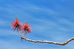 Flowering coral tree Royalty Free Stock Photo