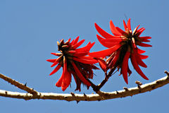 Flowering coral tree Stock Photo