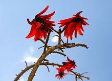 Flowering coral tree Erythrina Royalty Free Stock Image