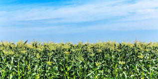 Flowering corn on blue sky Royalty Free Stock Photo