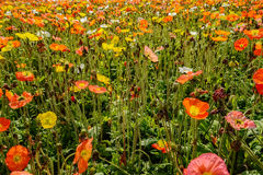 Flowering corn poppies in sunny spring afternoon. Stock Images