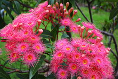 Corymbia Summer Red blossom Stock Images