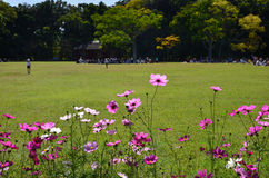 Flowering cosmos at a meadow park, Japan Stock Images