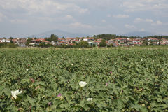 Flowering cotton field with the village Nea Pella and mountain Royalty Free Stock Photos