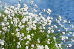 Flowering Cotton Grass Royalty Free Stock Image