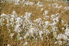 Flowering cotton grass Royalty Free Stock Images