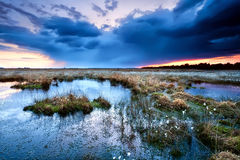 Flowering cottongrass on swamp at sunset Royalty Free Stock Photos