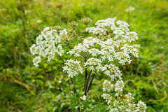 Flowering Cow Parsley from close Stock Images