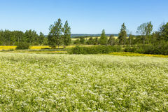 Flowering cow parsley in a meadow Royalty Free Stock Photo