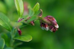 Flowering  cowberry close up. Macro shot. Royalty Free Stock Photos
