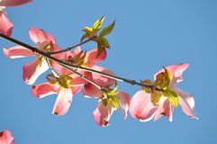 Flowering crab apple blossoms with blue sky Royalty Free Stock Image