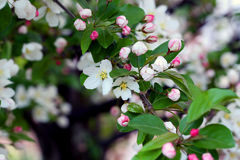Flowering crab apple blossoms. Flowering crab apple tree with white and pink petals Royalty Free Stock Images