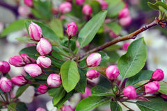 Flowering crab apple blossoms. Flowering crab apple tree with white and pink petals Royalty Free Stock Photo