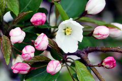 Flowering crab apple blossoms. Flowering crab apple tree with white and pink petals Stock Photography