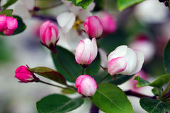 Flowering crab apple blossoms. Flowering crab apple tree with white and pink petals Royalty Free Stock Photos