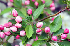 Flowering crab apple blossoms. Flowering crab apple tree with white and pink petals Stock Image